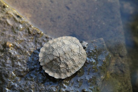 Baby Snapper 2