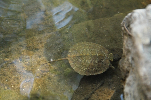 Baby Snapper 4