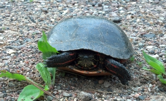 Turtle1CLC